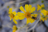 Apache Junction, Arizona. The Lost Dutchman State Park is located in the area of the Superstition Mountains in the Sonoran Desert, 40 miles east of Phoenix, Arizona. The park takes its name from a fabled lost gold mine. In this photograph, a bee looks for pollen in a brittlebush yellow flower at the Treasure Loop Trail in the Lost Dutchman State Park.  Photo by Eduardo Barraza © 2011