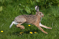 European Brown Hare (Lepus europaeus) adult running on grass, Normandy, France.