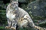 Snow leopard, captive, Panthera uncia, spotty pattern dense fur....
