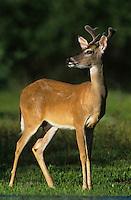 White-tailed Deer, Odocoileus virginianus, buck, Willacy County, Rio Grande Valley, Texas, USA