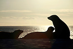 South America, Ecuador, Galapagos. Sea Lion silhouettes on Mosquera Island.
