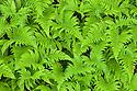 Beech Fern {Phegopteris connectilis}, Isle of Mull, Scotland, UK. June.