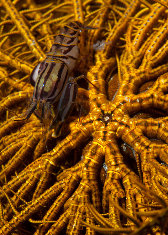 Striped snapping shrimp: Synalpheus striatus, on a yellow crinoid, Bunaken National Park, Sulawesi