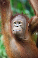 Orangutan of Sepilok, Sabah, Borneo