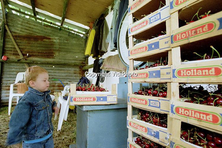 Foto: VidiPhoto..KESTEREN - De kleine Herman van Capel helpt z'n vader een handje met het wegen van de kersen. Het lijkt een goed oogstjaar te gaan worden als het weer mee zit. De bomen hangen vol vruchten en de plukkers hebben snel hun mand (hoendrik) vol. Wel hebben de kersen de afgelopen dagen last gehad van de regen. Nogal wat vruchten zijn gesprongen..