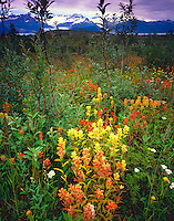 Wildflower Fields at Alsek Lake, Glacier Bay National Park and Preserve, Alaska
