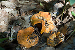 Mushroom - Chanterelle