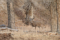 Whitetail buck in river bottom habitat in Wyoming