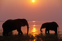 African Elephants (Loxodonta africana) Lake Kariba, Matusadona National Park, Zimbabwe.  Sunset.
