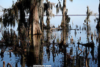 Achafalaya Basin,cypress knees,trees,swamp land,