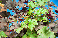 Heuchera Fifty Fifty perennial foliage plant