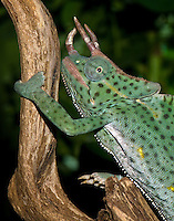 Usambara Giant Three-horned Chameleon (Trioceros dereme), captive.