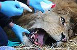 Foto: VidiPhoto<br /> <br /> ARNHEM - Het komt niet vaak voor, maar ook leeuwen moeten soms wel eens naar de tandarts. Donderdag moest bij de vijfjarige mannetjesleeuw Thor uit Burgers' Zoo in Arnhem &eacute;&eacute;n van de vier hoektanden getrokken worden. Dat gebeurde onder algehele narcose. Het roofdier vertoonde al enkele weken een verminderde eetlust en oplettende dierverzorgers zagen dat een hoektand in de onderkaak was afgebroken. Het vermoeden bestond dat Thor daarbij ook een kaakontstekend had ontwikkeld. Dat bleek donderdag, toen de tand werd verwijderd door dierenarts Henk Luten, ook inderdaad het geval te zijn. De dierenarts verwacht niet dat de leeuw grote eetproblemen zal ondervinden nu de hoektand weggehaald is.