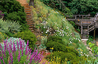 Native bunch grass, Festuca californica and white flowering Achillea millefolium covering California native backyard hillside garden with stairs