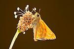 Small Skipper Butterfly, Thymelicus sylvestris, resting on plantin flower, backlight.United Kingdom....