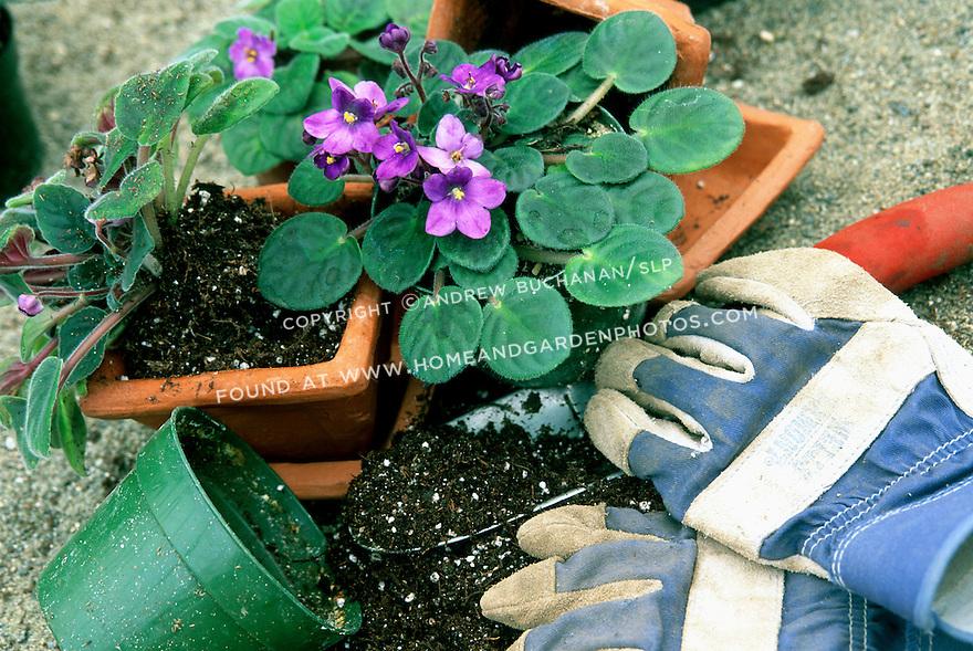 potting delicate purple violets