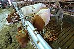Foto: VidiPhoto<br /> <br /> DODEWAARD - Bij de eerste melkveehouders is de koeienkapsalon weer geopend. Melkveehouder Jan-Willem van Rooijen scheert woensdag samen met zijn hulp Corn&eacute; van Mourik de eerste koeien. Omdat de dieren vanaf zaterdag de hele winter op stal staan, moet hun warme jas uit. Bovendien is het korte kapsel een stuk hygi&euml;nischer dan een harig model. Mooi geschoren is niet lelijk. Terwijl de meeste boeren een koeienkapper inhuren, doet Van Rooijen het liever zelf. &quot;Het is leuk werk en bovendien bespaar ik hiermee zo'n 1000 euro.&quot; Van Rooijen heeft 140 melkoeien en het laten scheren kost ongeveer 7 euro per koe. Het scheren van de hele veestapel kost ongeveer vier werkdagen. Daarom doen Jan-Willem en Corn&eacute; dat tussen de boerenbedrijven door. Foto: Boerin Gerdi van Rooijen scheert voor het eerst een koe, de lakenvelder Cato.