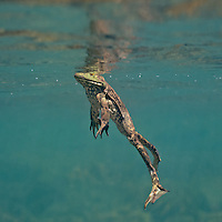 Bullfrogs, Underwater