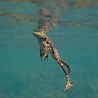 Bullfrogs, Underwater