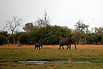 Africa, Botswana, Savute. Elephants of Chobe National Park.
