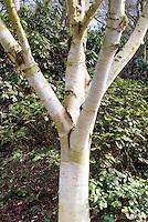 Betula utilis var. jacquemontii birch tree trunk bark