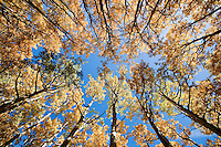 Looking skyward through the aspen forest of the San Francisco Peaks