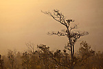 """Tree enveloped in """"vog,"""" fog caused by the neighboring volcanic vent in Hawai'i Volcanoes National Park, Hawai'i, USA"""