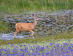 Mule deer are a common sight in Yellowstone National Park.