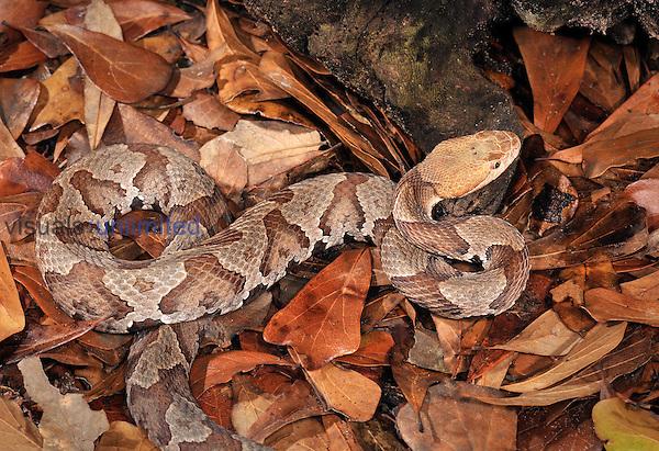 Northern Copperhead (Agkistrodon contortrix mokasen), captive.