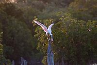 Roseate Spoonbill (Ajaia ajaja) at Pelican Island National Wildlife Refuge, Vero Beach, Florida, US