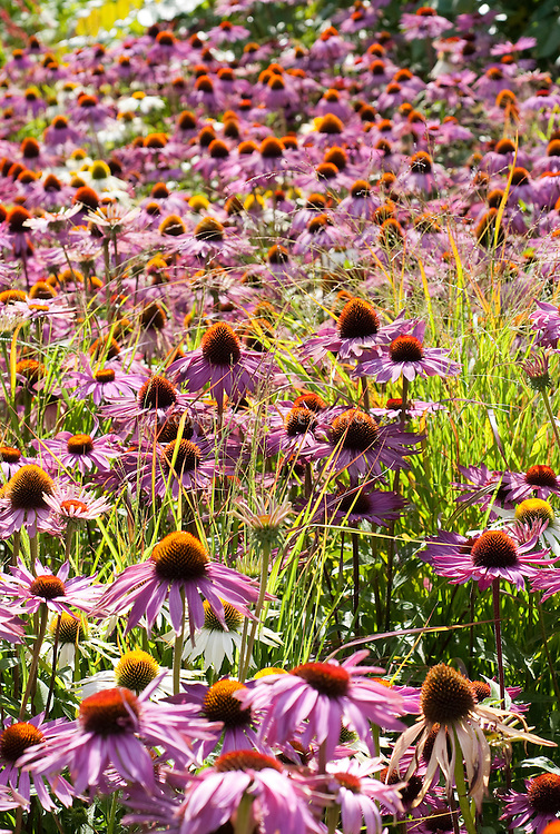 Echinacea purpurea Rubinglow Purple coneflower with ornamental grass and lovely lighting, shining in mass planting