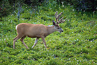 The Highline trail, Alberta and British Columbia, Canada, August 2008. An Elk roams around camp. The Banff Highline trail can be hiked in 7 days and runs through Banff National park as well as Assiniboine Provincial park. Photo by Frits Meyst/Adventure4ever.com