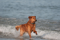 This Golden Retriever is running along the shoreline at Scarborough Beach State Park, Maine.