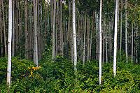 Trembling Aspen Tree (Populus tremuloides) Forest, Cariboo Region, BC, British Columbia, Canada