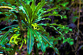 Endangered clermontia pyrularia plant on Big island of Hawaii