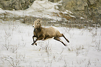 Immature male Bighorn Sheep running across some snow