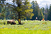 Two tourists hike through a meadow alongside American Bison Grazing in a meadow, in Yellowstone National Park, Wyoming