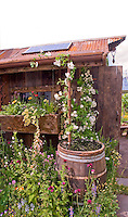 Passive solar energy panel with water conservation of rainbarrel on old farm rustic shed - old and new together, climbing roses and flowers, windowbox