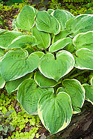 Hosta Christmas Tree in June, with Lysimachia, Heuchera