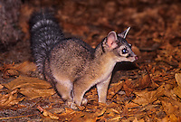 675909012 a wild ringtail bassariscus astutus explores his leaf littered nocturnal surroundings in yosemite national park california united states
