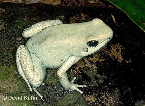 1101-07oo  Phyllobates terribilis ñ Golden Poison Arrow Frog ìMint Morphî ñ Golden Poison Dart Frog © David Kuhn/Dwight Kuhn Photography