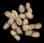 X-ray image of peanuts in shells (color on black) by Jim Wehtje, specialist in x-ray art and design images.