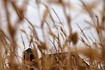 An abandoned church, seen through a corn field, sits across the road from the Oelke family farm outside of Hoxie, Kan., on Friday, Oct. 12, 2012. As historically dry conditions continue, farmers from South Dakota to the Texas panhandle rely on the Ogallala Aquifer, the largest underground aquifer in the United States, to irrigate crops. After decades of use, the falling water level ? accelerated by historic drought conditions over the last two years ? is putting pressure on farmers to ease usage or risk becoming the last generation to grow crops on the land. Farmers like Mitchell Baalman and Brett Oelke (both not pictured) are part of a farming community in in Sheridan County, Kansas, an agricultural hub in western Kansas, who have agreed to cut back on water use for crop irrigation so that their children and future generations can continue to farm and sustain themselves on the High Plains.