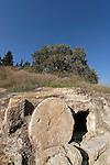 T-023 Kermes Oak in Jezreel Valley