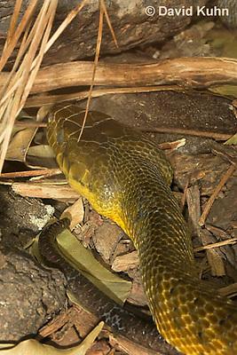 0425-1101  Brown Tree Snake (Tropical Brown Snake), Boiga irregularis  © David Kuhn/Dwight Kuhn Photography