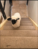 BNPS.co.uk (01202 558833)<br /> Pic: TomWren/BNPS<br /> <br /> Barry has the run of the house.<br /> <br /> Baaa-king mad?<br /> <br /> It's a dogs life for 'Barry the lamb' - The precious Valais Blacknose lamb is being hand reared by owner Emma Childs after being rejected by his mother.<br /> <br /> Emma took Barry the lamb into her home last month so she could bottle-feed him round the clock after his mum rejected him as a newborn.<br /> <br /> Barry, now four weeks old, is a valuable rare Valais Blacknose, a breed that was only introduced to the UK from the Swiss Alps in 2014.