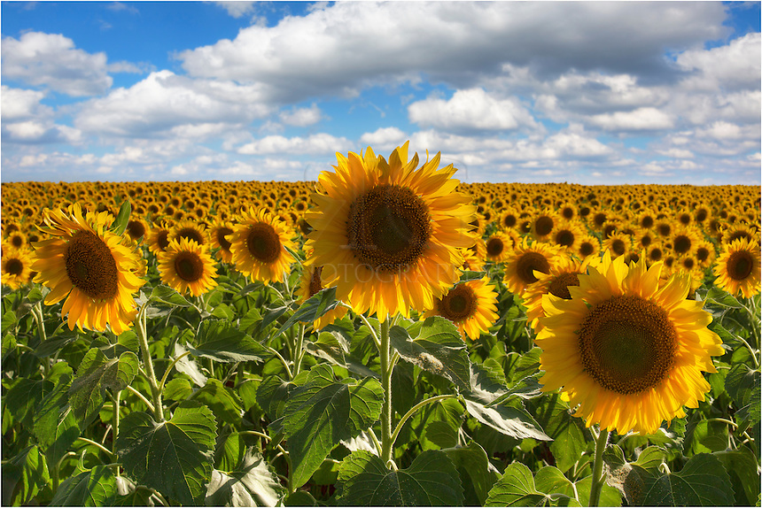 summer sunflowers andrea - photo #1