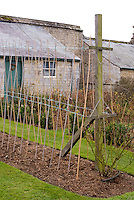 Sweet pea canes poles trellis and watering, how to stake peas in the garden backyard with stone house, Lathyrus or vegetable peas, practical tip on tying up and staking vines