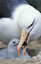 Black-browed albatross feeding chick on nest; Falkland Islands