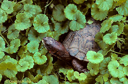 1R40-064x  Eastern Box Turtle - Terrapene carolina